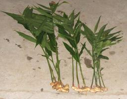 Gingembre, rhizomes et feuilles. Source : http://data.abuledu.org/URI/51a671e6-gingembre-rhizome-et-feuilles