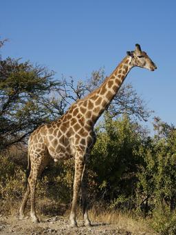 girafe. Source : http://data.abuledu.org/URI/501a9c34-girafe