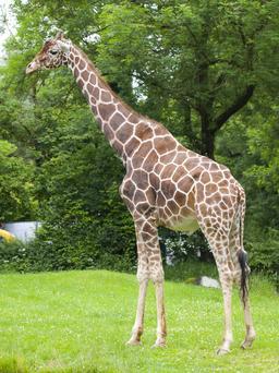 Girafe. Source : http://data.abuledu.org/URI/5023cfed-jirafe