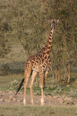 Girafe Masaï. Source : http://data.abuledu.org/URI/5061ca8e-girafe-masai