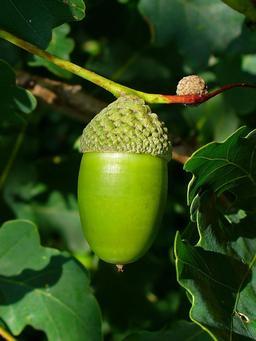Gland de chêne pédonculé. Source : http://data.abuledu.org/URI/5064acb8-gland-de-chene-pedoncule