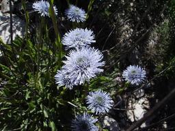 Globulaire commune en fleurs. Source : http://data.abuledu.org/URI/507015df-globulaire-commune-en-fleurs