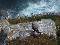 Goéland juvénile à Faro da Estaca de Bares. Source : http://data.abuledu.org/URI/55dff7e4-goeland-juvenile-a-faro-da-estaca-de-bares-