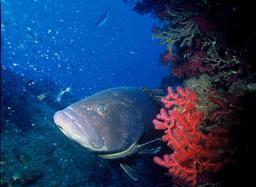 Gorgone pourpre et mérou brun. Source : http://data.abuledu.org/URI/548d6d28-gorgone-pourpre-et-merou-brun