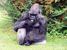 Gorille. Source : http://data.abuledu.org/URI/504e060e-gorilla-gorilla