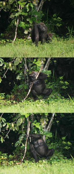 Gorille utilisant un outil. Source : http://data.abuledu.org/URI/51eec252-gorille-utilisant-un-outil