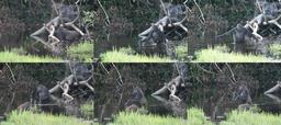 Gorille utilisant un outil. Source : http://data.abuledu.org/URI/51eec30e-gorille-utilisant-un-outil