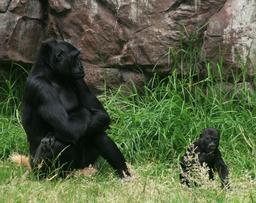 Gorilles. Source : http://data.abuledu.org/URI/5020d24b-gorilles