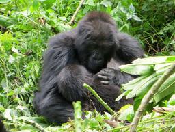Gorilles au Rwanda. Source : http://data.abuledu.org/URI/595bf19c-gorilles-au-rwanda