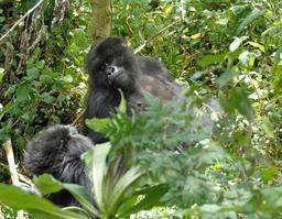 Gorilles au Rwanda. Source : http://data.abuledu.org/URI/595bf238-gorilles-au-rwanda