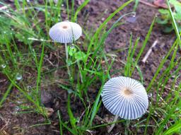 Gouttes de rosée et champignons. Source : http://data.abuledu.org/URI/5234b853-gouttes-de-rosee-et-champignons
