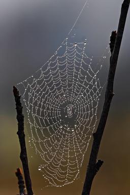 Gouttes de rosée sur toile d'araignée. Source : http://data.abuledu.org/URI/519dc821-gouttes-de-rosee-sur-toile-d-araignee