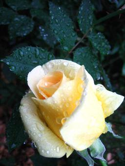 Gouttes de rosée sur un rosier. Source : http://data.abuledu.org/URI/538ae096-gouttes-de-rosee-sur-un-rosier