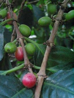 Graines de café sur l'arbre. Source : http://data.abuledu.org/URI/502a0e2d-graines-de-cafe-sur-l-arbre