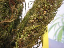 Graines de chanvre. Source : http://data.abuledu.org/URI/54a453fc-graines-de-chanvre