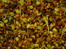 Graines germées de haricots biologiques. Source : http://data.abuledu.org/URI/53777685-graines-germees-de-haricots-biologiques