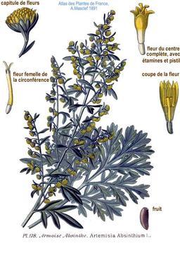 Grande absinthe. Source : http://data.abuledu.org/URI/5056c641-grande-absinthe