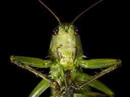 Grande sauterelle verte. Source : http://data.abuledu.org/URI/5413f7b6-grande-sauterelle-verte