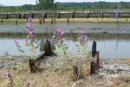 Grandes mauves en fleurs en bordure d'un chenal. Source : http://data.abuledu.org/URI/552ae2e3-grandes-mauves-en-fleurs-en-bordure-d-un-chenal