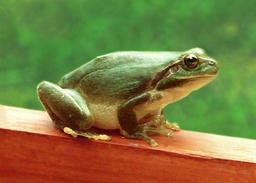 Grenouille. Source : http://data.abuledu.org/URI/504e0810-grenouille