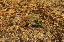 Grenouille du nord. Source : http://data.abuledu.org/URI/5356b23d-grenouille-du-nord