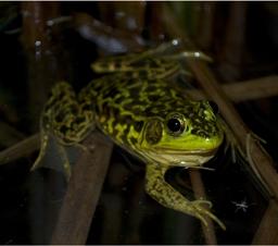 Grenouille du nord de nuit. Source : http://data.abuledu.org/URI/5356b304-grenouille-du-nord-de-nuit