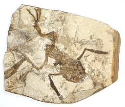 Grenouille fossilisée. Source : http://data.abuledu.org/URI/53519831-grenouille-fossilisee