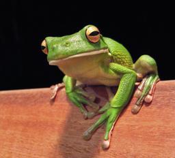 Grenouille géante d'Australie. Source : http://data.abuledu.org/URI/53518fe5-grenouille-geante-d-australie