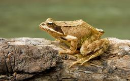 Grenouille rousse. Source : http://data.abuledu.org/URI/5023cd21-grenouille-rousse