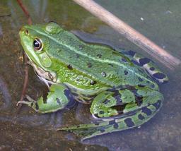 Grenouille verte. Source : http://data.abuledu.org/URI/52ce78fd-grenouille-verte