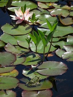 Grenouilles, trèfle d'eau et nénuphar. Source : http://data.abuledu.org/URI/5652b6a5-grenouilles-trefle-d-eau-et-nenuphar