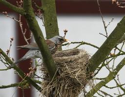 Grive litorne au nid. Source : http://data.abuledu.org/URI/5172a496-grive-litorne-au-nid