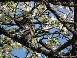 Grive litorne au printemps. Source : http://data.abuledu.org/URI/5173eadd-grive-litorne-au-printemps