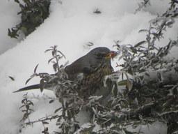 Grive litorne dans la neige. Source : http://data.abuledu.org/URI/5173fb14-grive-litorne-dans-la-neige
