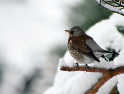 Grive litorne dans la neige au lever du soleil. Source : http://data.abuledu.org/URI/5173f59a-grive-litorne-dans-la-neige-au-lever-du-soleil