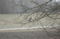 Grive litorne en hiver. Source : http://data.abuledu.org/URI/5173ec3b-grive-litorne-en-hiver