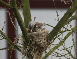 Grive litorne nourrissant ses petits au nid. Source : http://data.abuledu.org/URI/5172a75c-grive-litorne-nourrissant-ses-petits-au-nid