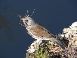 Grive litorne préparant son nid. Source : http://data.abuledu.org/URI/51729fe8-grive-litorne-preparant-son-nid