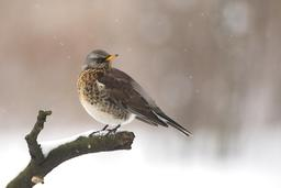 Grive litorne sous la neige. Source : http://data.abuledu.org/URI/5173f36d-grive-litorne-sous-la-neige