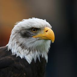 Gros plan de tête d'aigle. Source : http://data.abuledu.org/URI/59da7a18-gros-plan-de-tete-d-aigle