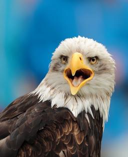 Gros plan de tête d'aigle. Source : http://data.abuledu.org/URI/59da7a6b-gros-plan-de-tete-d-aigle