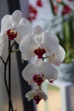 Gros-plan sur une orchidée phalaenopsis. Source : http://data.abuledu.org/URI/505f8c95-gros-plan-sur-une-orchidee-phalaenopsis