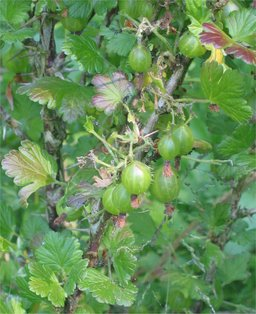 Groseilles à maquereau sauvages. Source : http://data.abuledu.org/URI/47f3ae7e-groseilles-maquereau-sauvages