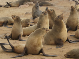 Groupe d'otaries. Source : http://data.abuledu.org/URI/47f3d400-groupe-d-otaries