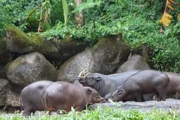 Groupe de babiroussas s'abreuvant en Indonésie. Source : http://data.abuledu.org/URI/53ece7a6-groupe-de-babiroussas-s-abreuvant-en-indonesie