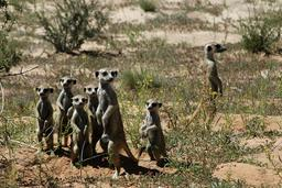 Groupe de suricates. Source : http://data.abuledu.org/URI/52d1b4db-groupe-de-suricates