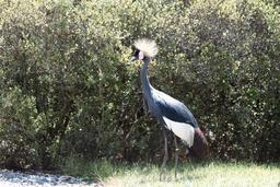 Grue couronnée. Source : http://data.abuledu.org/URI/5056f5bb-grue-couronnee