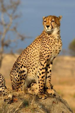 Guépard. Source : http://data.abuledu.org/URI/52d68a15-guepard