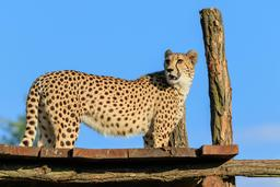 Guépard au zoo de Prague. Source : http://data.abuledu.org/URI/58d02aea-guepard-au-zoo-de-prague