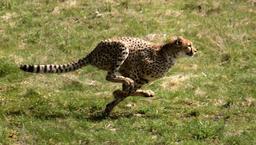 Guépard en chasse. Source : http://data.abuledu.org/URI/52d68bd7-guepard-en-chasse
